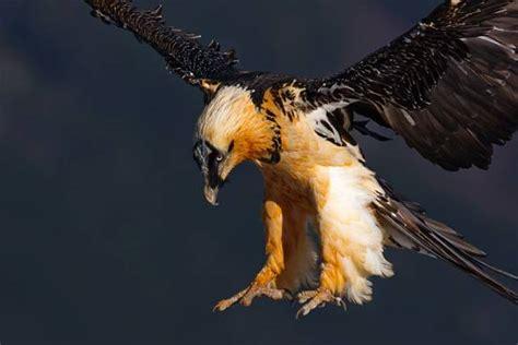 bearded vulture gypaetus barbatus dinoanimalscom