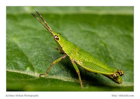short horned grasshopper nymph krishna mohan photography