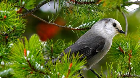 ikbhal beautiful birds