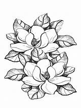 Magnolia Coloring Pages Flower Drawing Flowers Printable Clipart Print Mississippi Magnolias Colouring Mycoloring Colors Paint Clip Sketch Sheets Recommended Pencil sketch template
