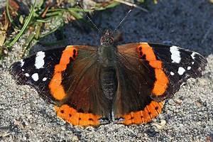 Schmetterlinge überwintern Helfen : berwinterung der schmetterlinge nabu baden w rttemberg ~ Frokenaadalensverden.com Haus und Dekorationen