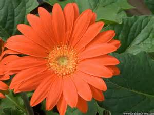 Orange Flower Desktop