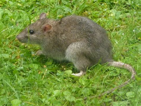 rats in the garden do rats rummage in gardens and where