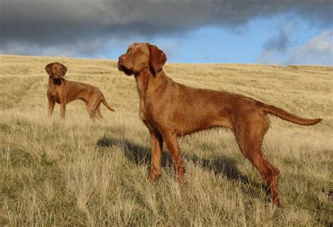 do hungarian wirehaired vizslas shed 100 images