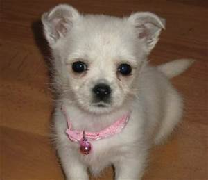 White Chihuahua Mix | www.pixshark.com - Images Galleries ...