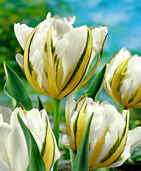 buy tulips exotic emperor bakkercom
