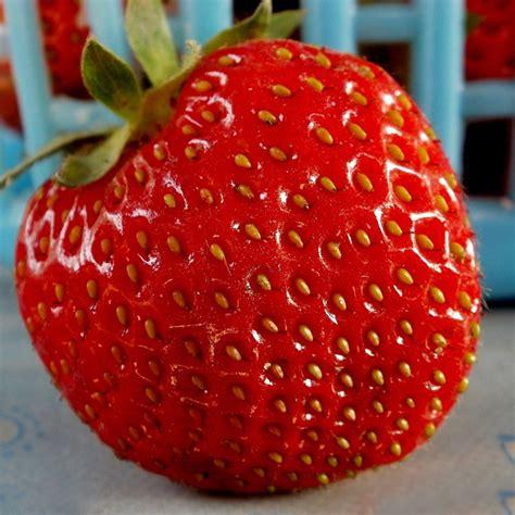 strawberry seeds 100pcs giant red strawberry seeds rarest heirloom super giant japan strawber seeds garden alex nld