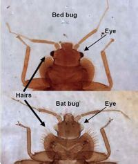 how to get rid of bugs in kitchen cabinets bed bug inspection guide home infographics 9905