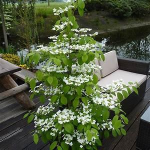 Schneeball Strauch Arten : buy viburnum viburnum plicatum f 39 tomentosum kilimanjaro 39 ~ Frokenaadalensverden.com Haus und Dekorationen