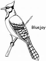 Jay Coloring Bird Pages Drawing Bluejay Birds Backyard Clipart Template Toronto Gray Colouring Patterns Drawings Quilling Printable Adult Clip Books sketch template