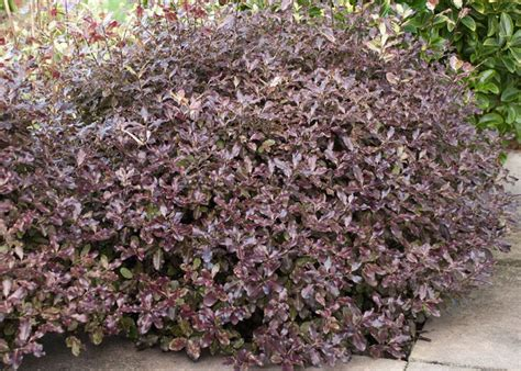 anglesea place images  pinterest shrubs yard