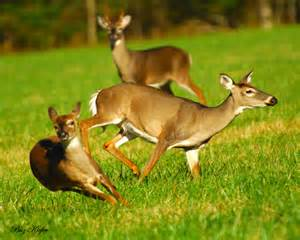 Whitetail Deer Buck Doe and Fawn