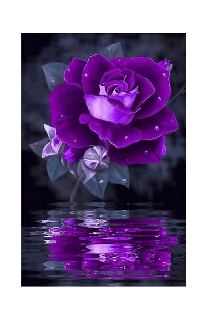 Purple Rose Roses Flowers Pretty Things Flower