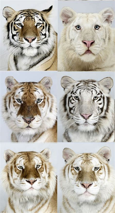 Different Shades Tigers Are Great Animals