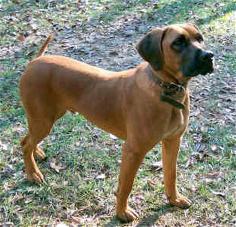 read about the black mouth cur dog its history size and