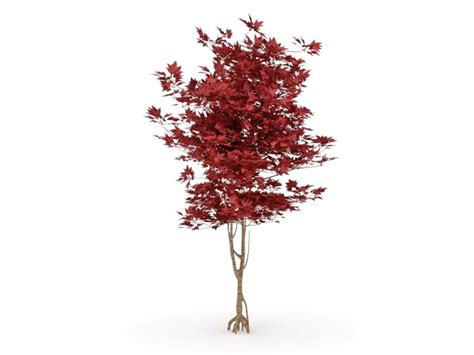 japanese red maple tree  model ds max files