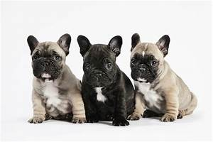 French Bulldog | The Winston Blog