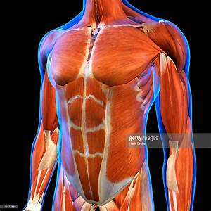 Frontal View Of Male Chest And Abdominal Muscles Anatomy