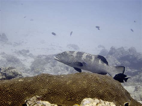 squaretail grouper groupers instagram super series despite efforts completely these