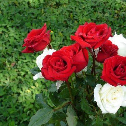 การปลูกดอกไม้: การปลูกดอกกุหลาบ