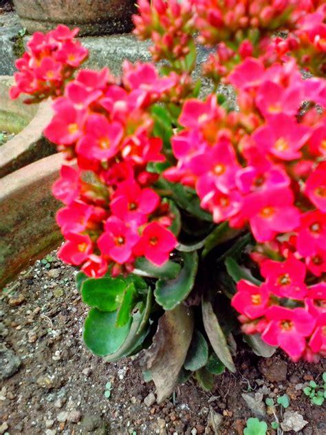 garden care simplified flower rose garden munnar flower