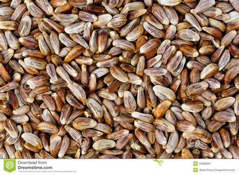 safflower seeds carthamus tinctorius stock image image
