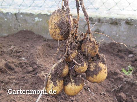 kartoffeln wann pflanzen wann muss ich die kartoffeln ernten garten im herbst