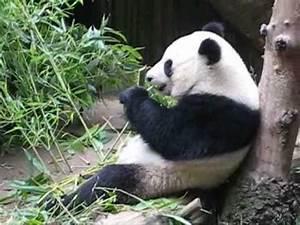 Cute Panda Eating Bamboo - YouTube