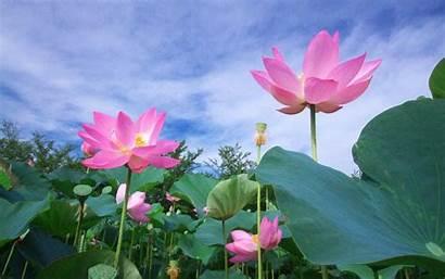 Lotus Flowers Wallpapers13