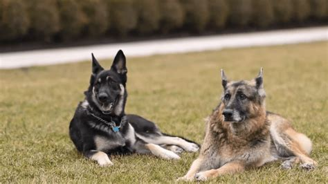 Biden's Dogs Removed From White House! They Are Aggressive ...