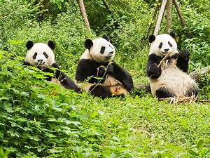 Can China's Giant Pandas Make a Comeback in the Wild?
