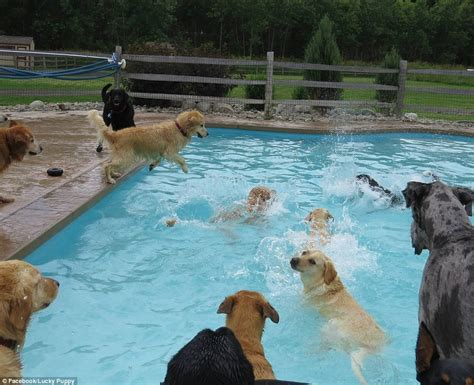 puppies paddle    doggy daycare center daily mail