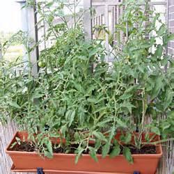 balkon tomaten tomaten pflanzen auf dem balkon heimdesign innenarchitektur und möbelideen