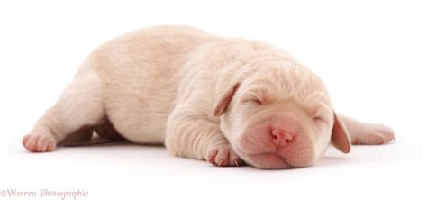 Newborn Lab Puppy