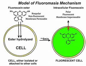 File Schematic Diagram Of Fluorochromasia Molecular Mechanism Pdf