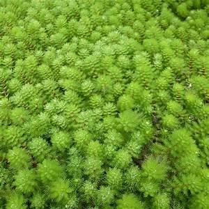 Plantes Vivaces Autour D Un Bassin : myriophyllum aquaticum myriophylle aquatique plante oxyg nante de bassin ~ Melissatoandfro.com Idées de Décoration