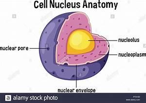 Nucleolus Stock Photos  U0026 Nucleolus Stock Images