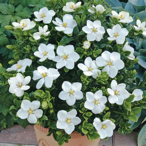 gardenia in a pot gardenia kleim s hardy 9cm