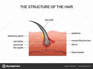 Anatomy Of The Hair Follicle