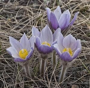 Pulsatilla (Anemone) patens 'American Pasque Flower/Prairi ...