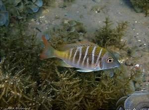 Dafni U0026 39 S Off-reef-fish    U05d0 U05ea U05e8 U05d9  U05d3 U05e4 U05e0 U05d9  U05dc U05d3 U05d2 U05d9  U05d0 U05d9 U05dc U05ea
