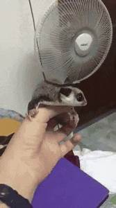 Confirmed: Sugar Gliders are the Cutest, and Can Be ...