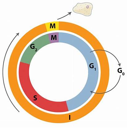 Cycle Diagram Cell Phases Data Infographic Circle