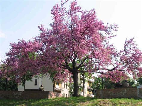 piante ricanti da terrazzo alberi da giardino con fiori alberi da fiore piante da