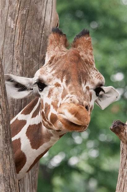 Giraffe Gifs Birth April Animated Gifer Giphy