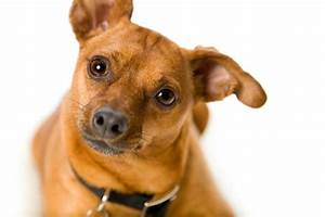 Miniature Pinscher Mix Photos and Information | ThriftyFun