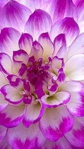 Purple Flower HD Android Wallpaper for Mobile