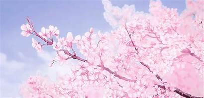 Blossom Aesthetic Cherry Tree Sakura Anime Gifs