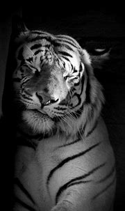 25 Best White Tiger Photographic | Sleeping tiger ...