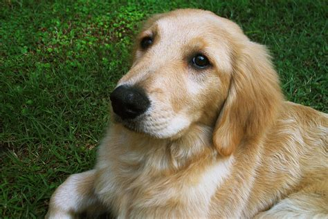 hardest golden retriever quiz youll